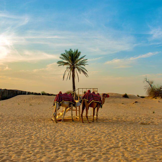 Oman Kamele an einer Palme in der Wüste